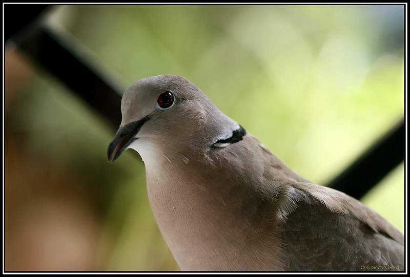 dove at window