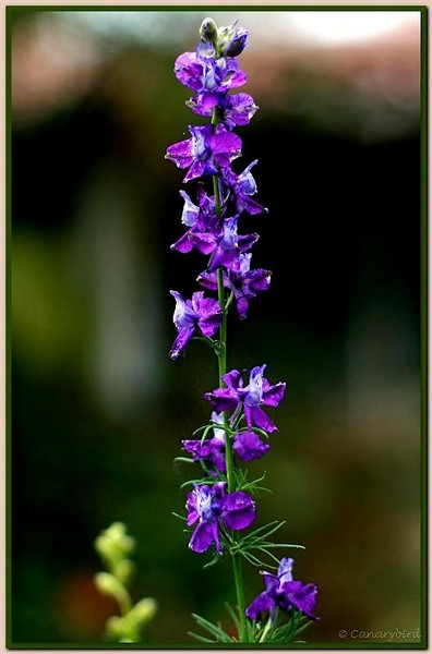 blue larkspur