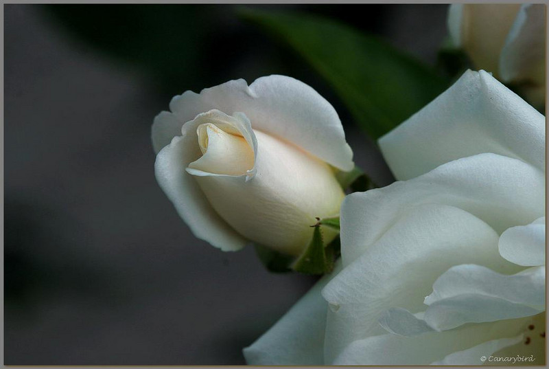 white rose bud 1