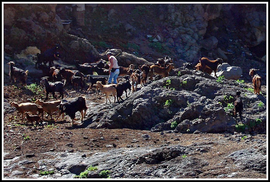 goats in barranco