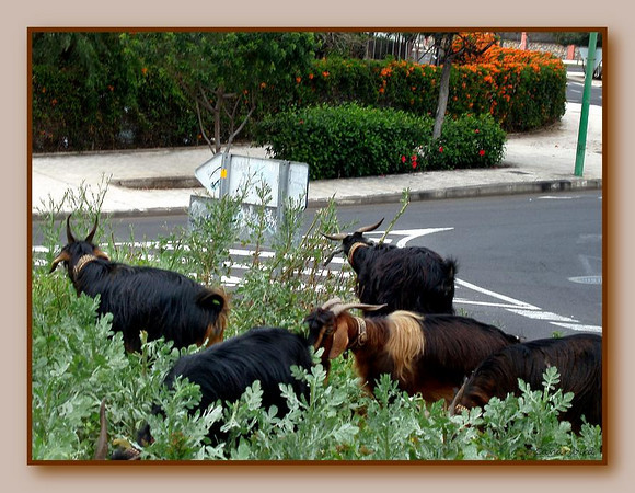 goats and street