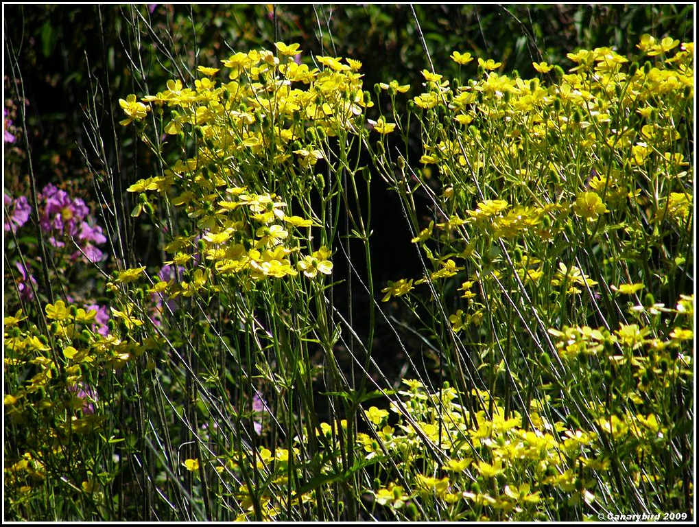 giant buttercups