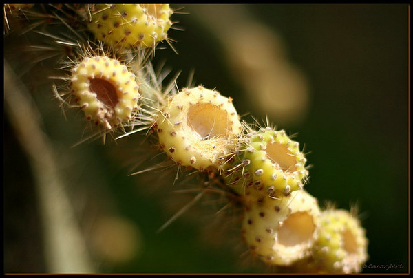 opuntia buds
